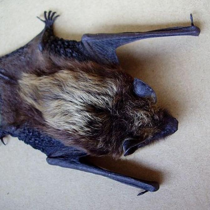 Las enfermedades que transmiten los murciélagos