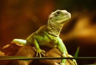 Dragón de agua chino también conocido como dragón verde