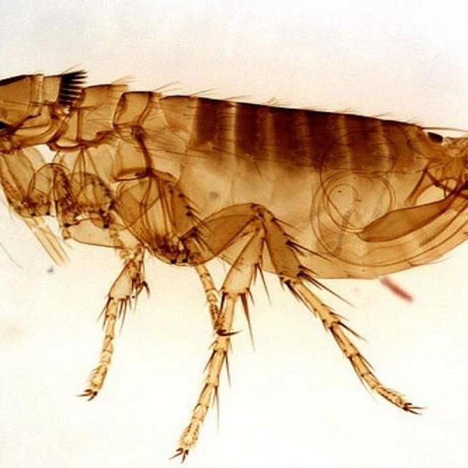 Lo que necesitas saber sobre las pulgas