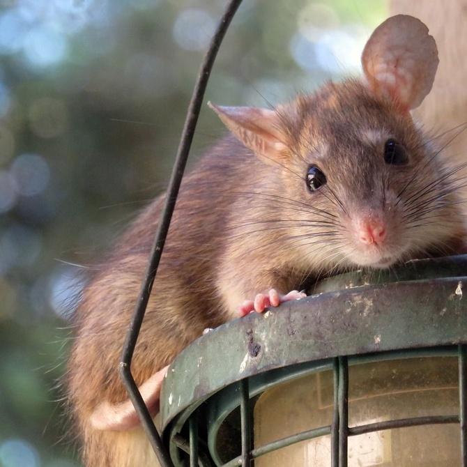 Curiosidades de las ratas
