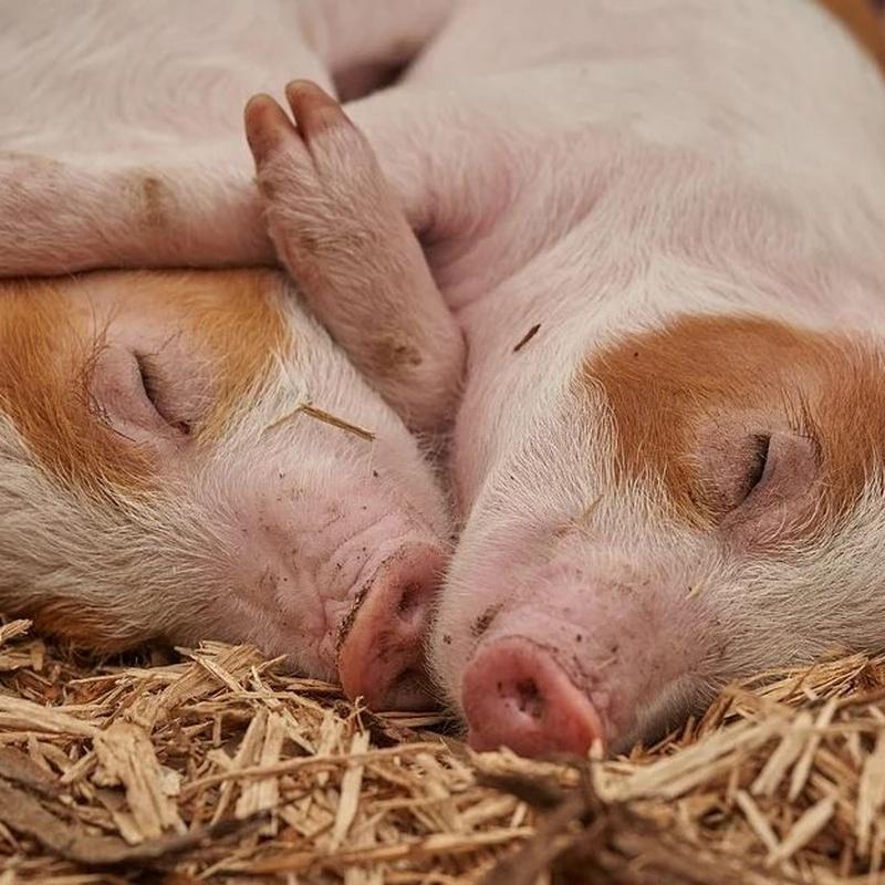 Venta de cerdos de crianza y matanza: Servicios de Supermercado Vilarchao