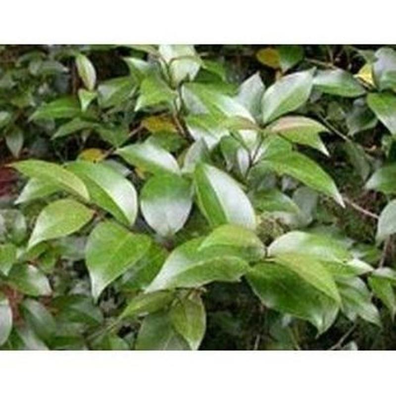 Aligustre Arbóreo: Productos de Danimayos Crea Tu Jardin