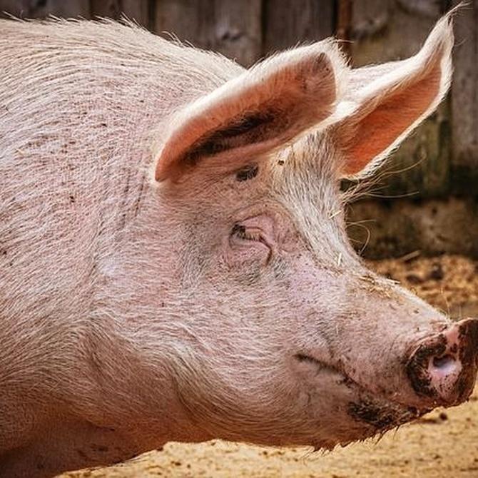 Tripa natural de cordero o cerdo