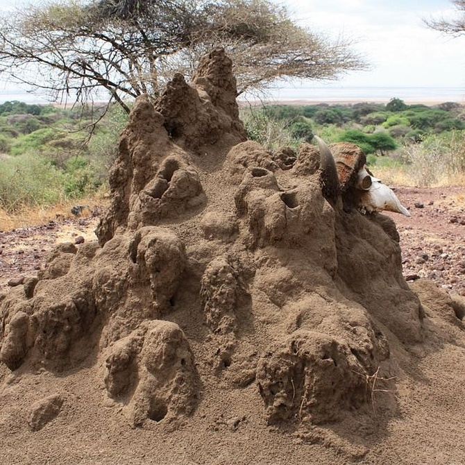 ¿Conoces la procedencia de las termitas?