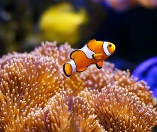 Los peces payaso