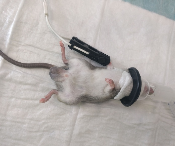 castracion rata macho en TOT EXOTICS