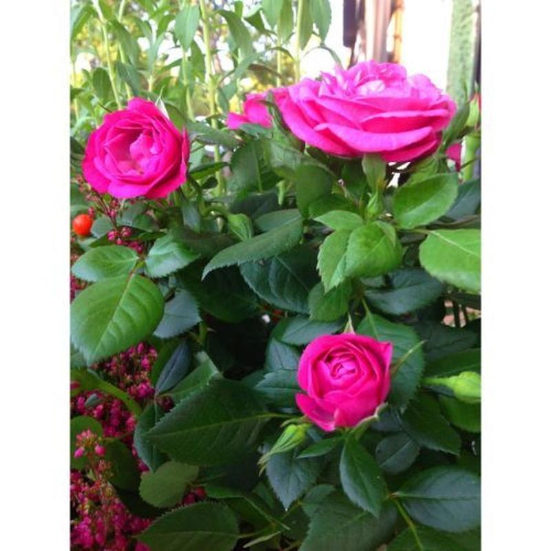 Rosales: Catálogo de Flores Maranta