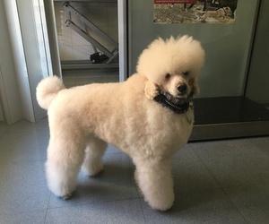 Peluquería canina : Hoy nos ha venido Tao a la pelu, es un precioso caniche que arrasa con todos los concursos que se presenta!! Sigue así precioso!!