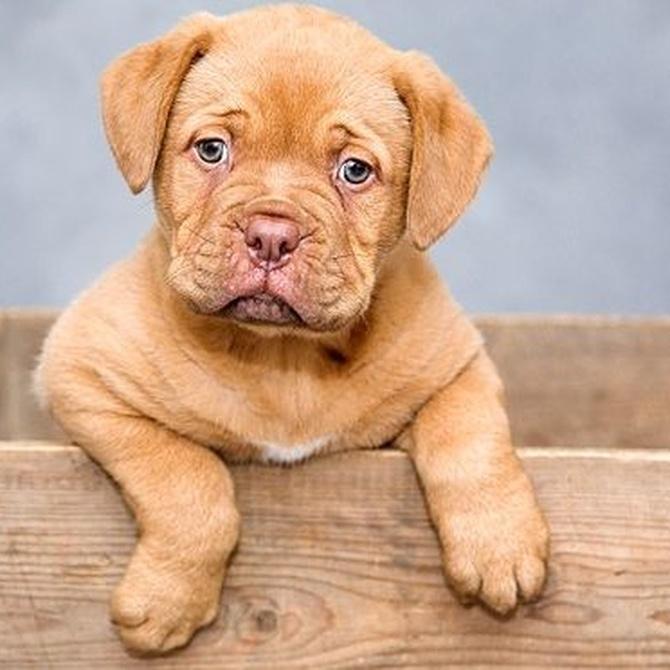 Enfermedades más comunes en perros