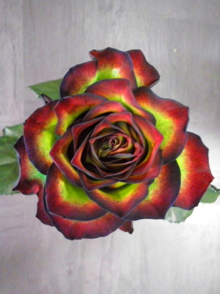 Rosas diferentes naturales