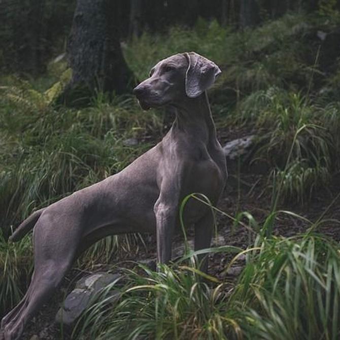 ¿Son los perros realmente carnívoros?
