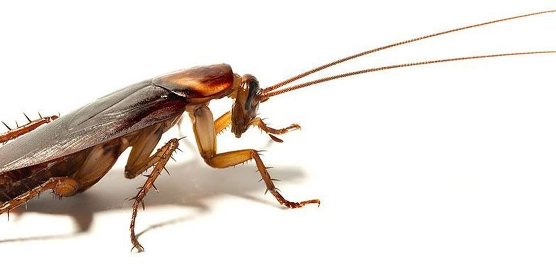 Control de plagas en Valencia contra las cucarachas comunes