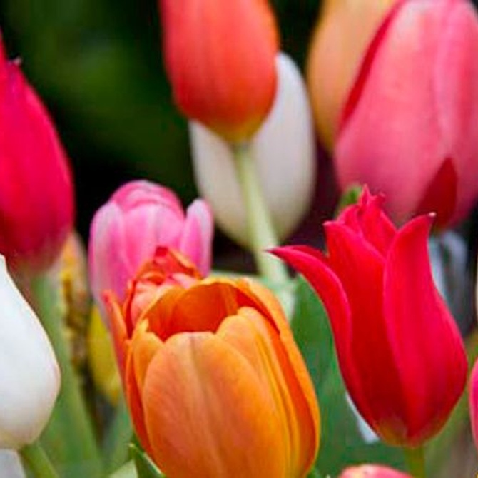 Los misterios del tulipán