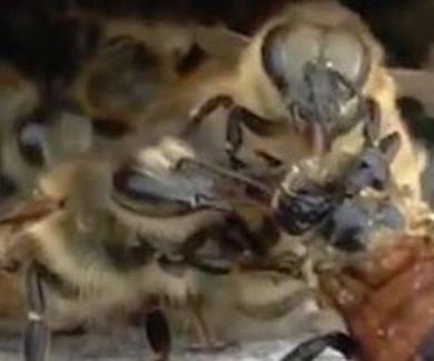 Un grupo de abejas salva a su compañera tras caer en un depósito de miel