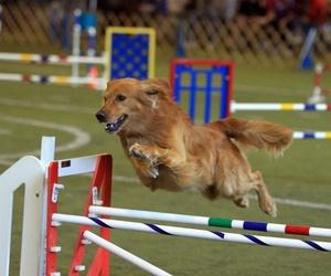 Adiestramiento canino con circuito agilily en Valencia