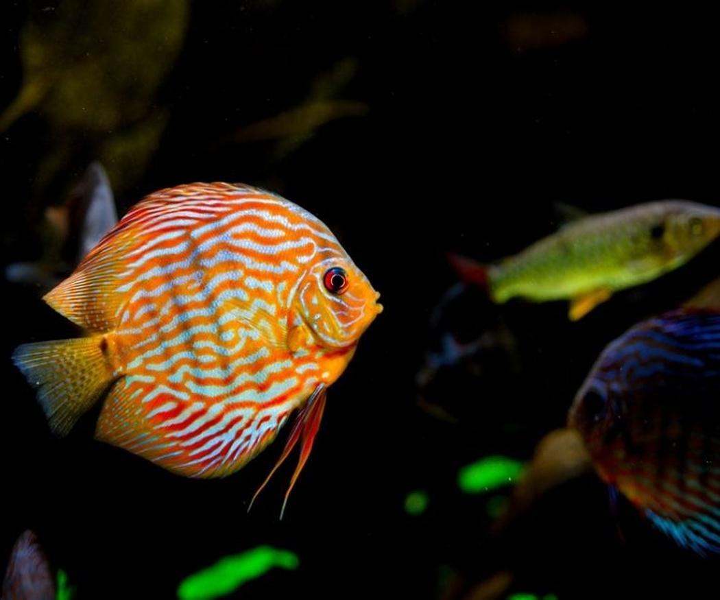 Algunos tipos de peces tropicales para tu acuario