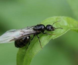 Plagas de otoño, las hormigas voladoras.