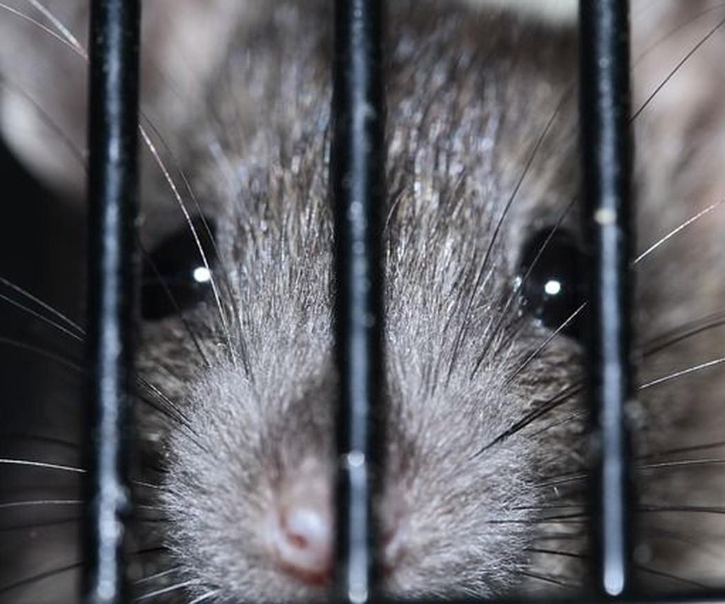 No más ratas