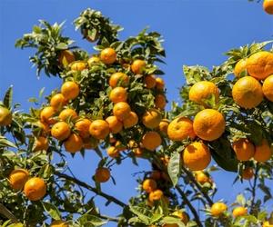 Exportación de naranjas en Guadassuar