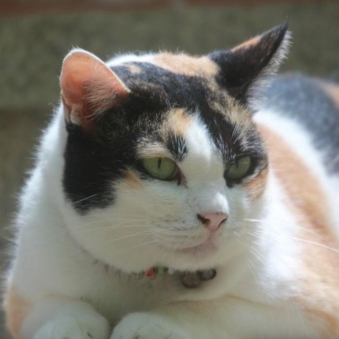 El problema del sobrepeso en los gatos