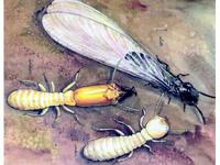 Tratamiento contra termitas en Valencia garantizado por Ecoambiente Sanidad Ambiental