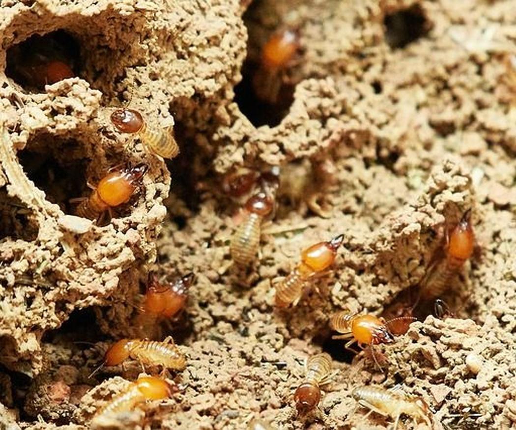 Por qué eliminar termitas