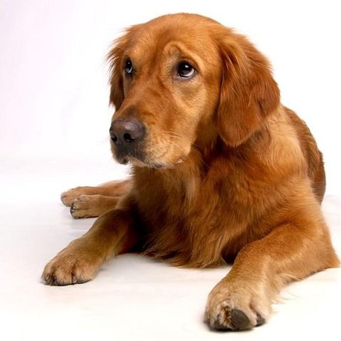 Consejos para cuidar el pelo de tu perro