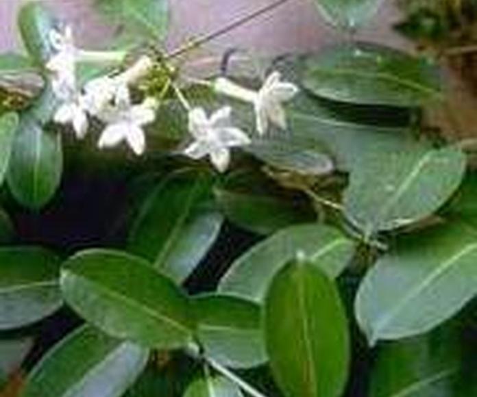 stephanitis floribunda