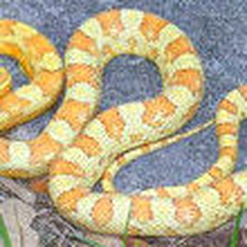 Elaphe Guttata: Catálogo de Reptil Parc
