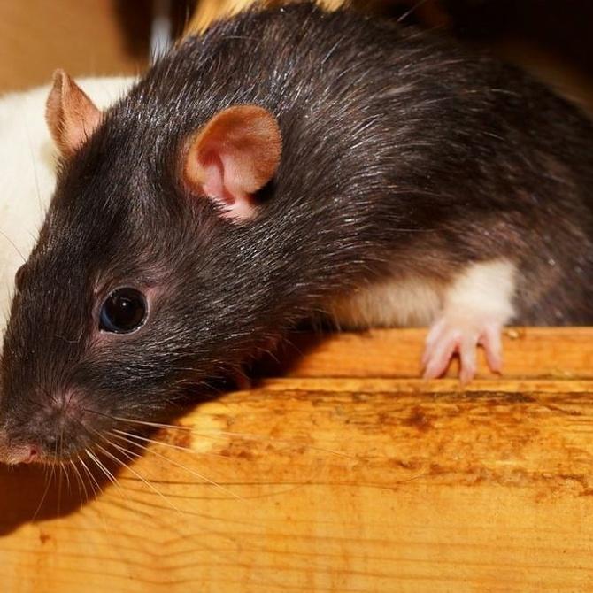 Cómo identificar una plaga de ratas
