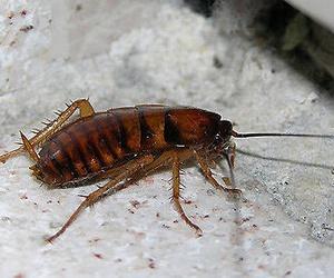 Plagas de cucarachas en Albacete
