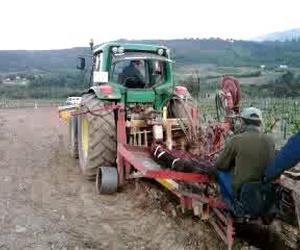 14/5/2012 - Plantación de viñedo para la obtención de yemas