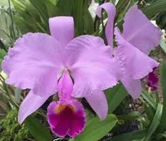 Agresión - orquídea amazónica : Terapias de Terapias Alternativas Isabel
