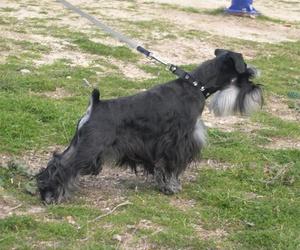 Venta de fox terrier con pedigrí en Paracuellos del Jarama