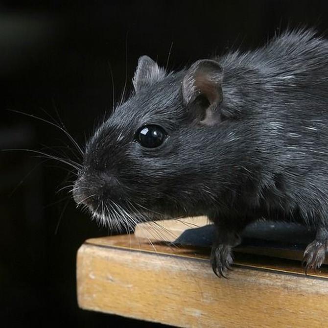 La reproducción de las ratas