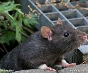Eliminación de roedores