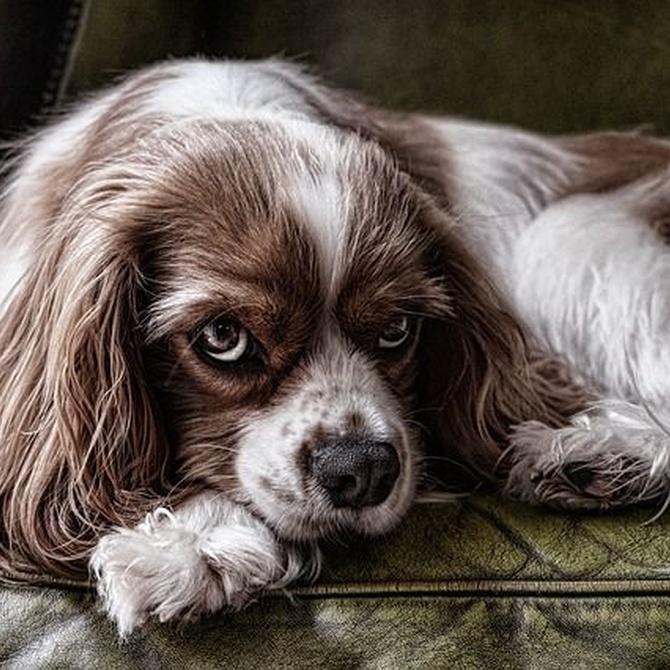 ¿Es bueno pelar a los perros de pelo largo?