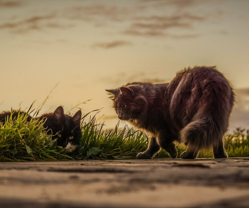 Las vacunas de los gatos