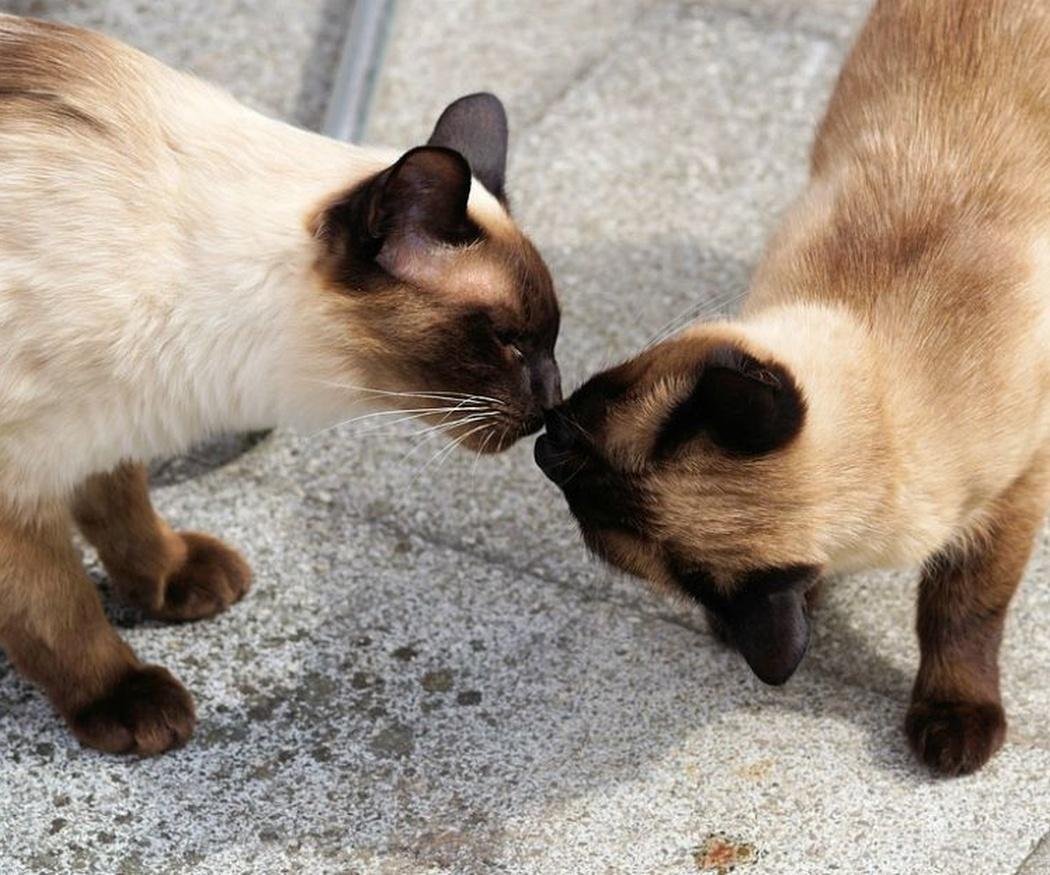 Rasgos de los gatos siameses