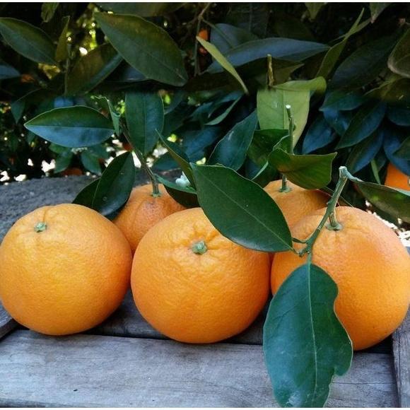 Naranjas de Valencia a domicilio  Grandes - 10kg : Productos de Naranjas Julián