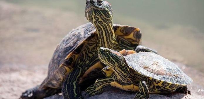 Cuidados de los galápagos o tortugas de agua
