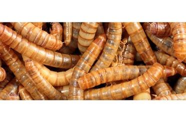 IPAs o insectos de productos alimentados