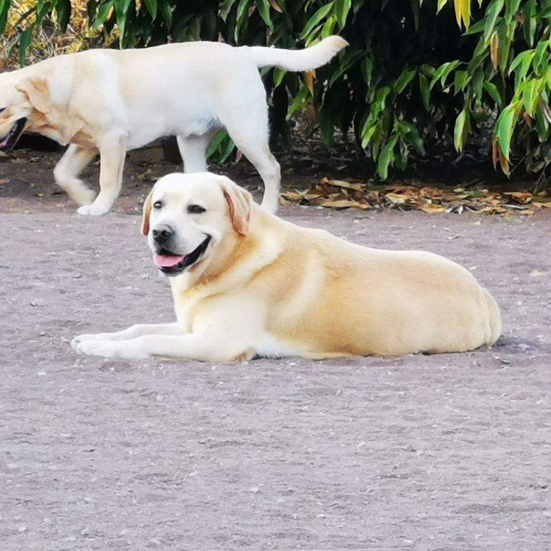 Criadores los labradores de las Medianias G. C: Servicios de Nueva Enseñanza Escuela Canina