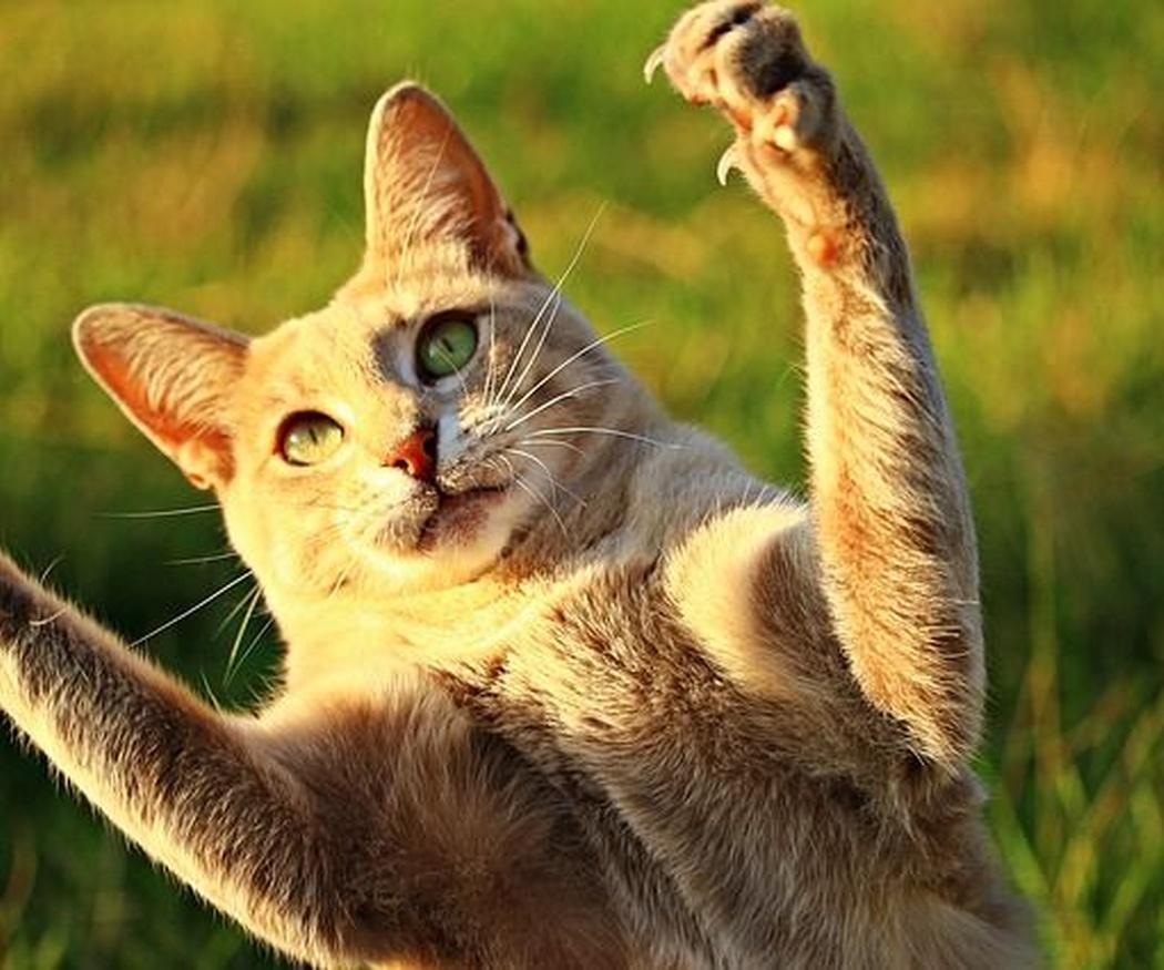 Beneficios del juego para tu gato