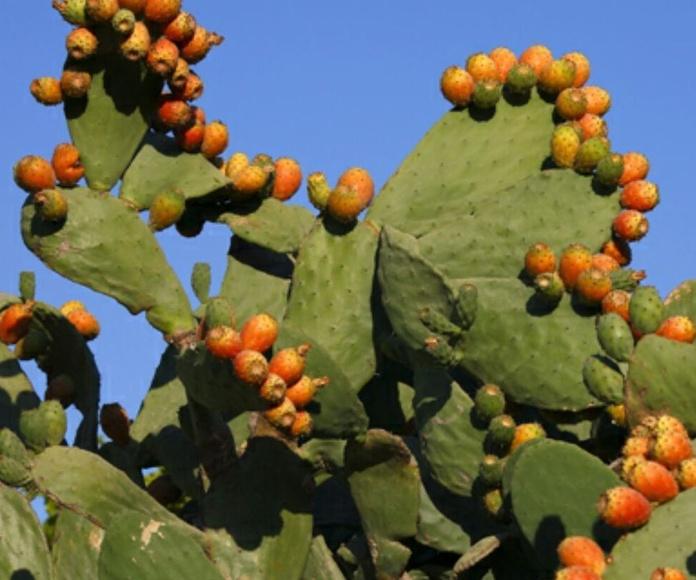 Planta Chumbera