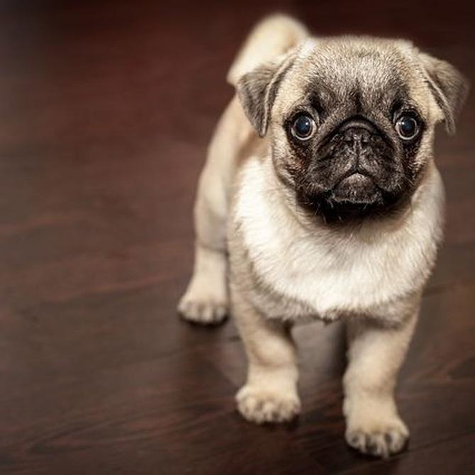 ¿Qué hay detrás de los estornudos de los perros?