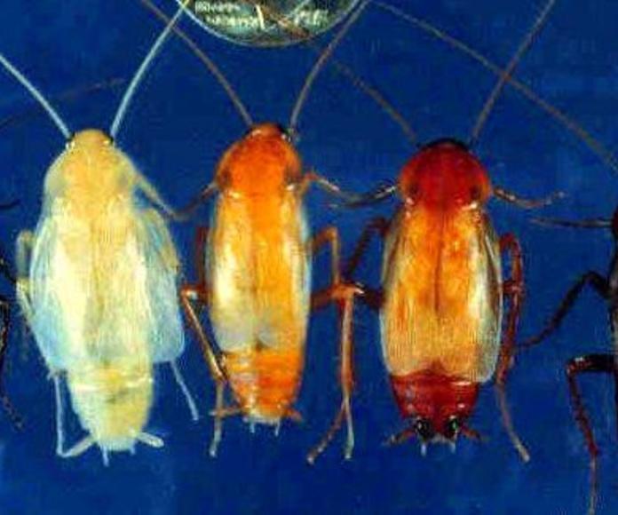 Blatta orientalis; cucaracha negra.