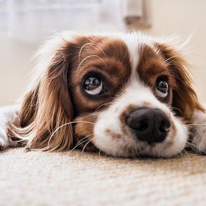El ojo de cereza en los perros