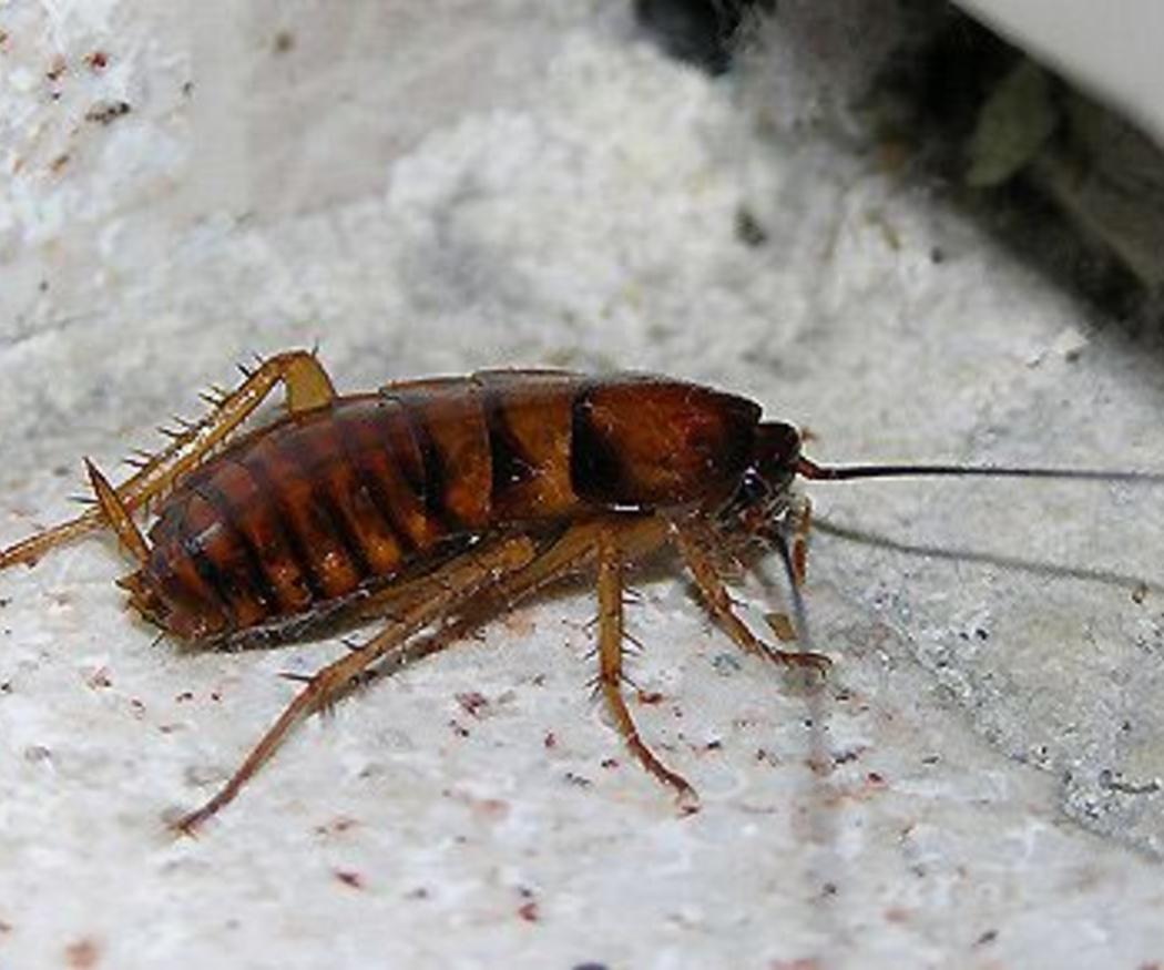 Curiosidades sobre las cucarachas que no querrías saber