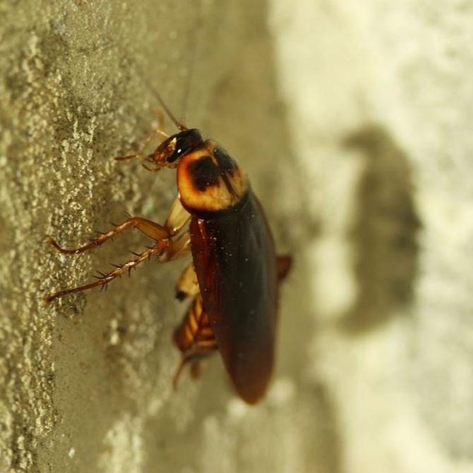 El peligro de las cucarachas